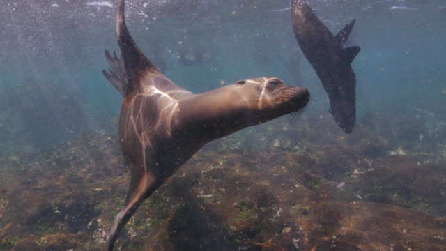 galapagos sea lion encounter at undersea reef - seal animal stock videos & royalty-free footage