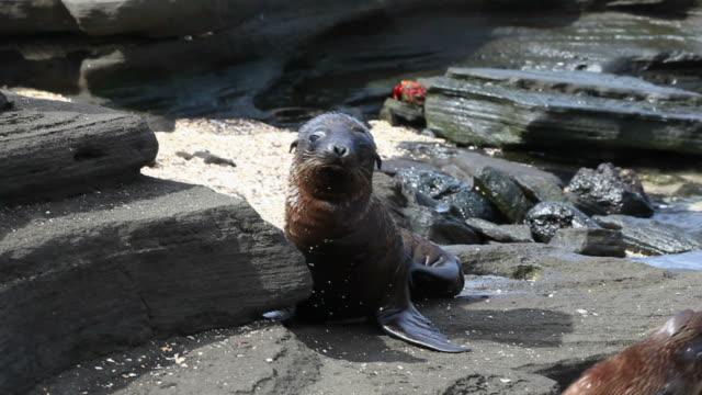Galapagos Sea Lion pups on the beach HD video. Ecuador