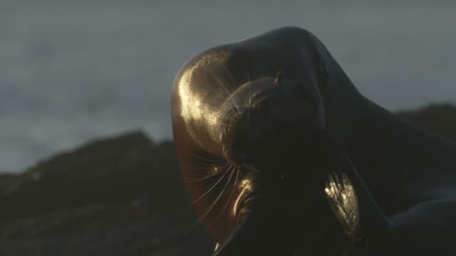 vídeos y material grabado en eventos de stock de galapagos sea lion scratching its head and looking around - ecuador