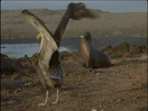 vidéos et rushes de a galapagos sea lion sits on a beach near a waved albatross that is stretching its wings. - membre partie du corps