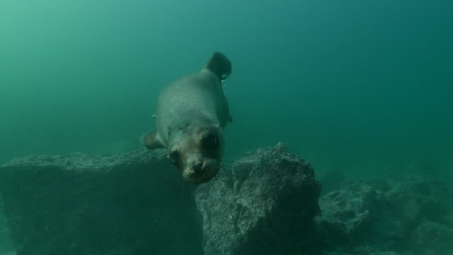 galapagos sea lion swimming close to camera undersea - sea lion stock videos & royalty-free footage