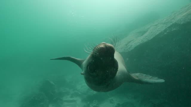 vídeos y material grabado en eventos de stock de león marino de galápagos en arrecife submarino - submarinismo