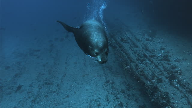 a galapagos sea lion swims along the ocean floor. available in hd. - seals stock videos and b-roll footage