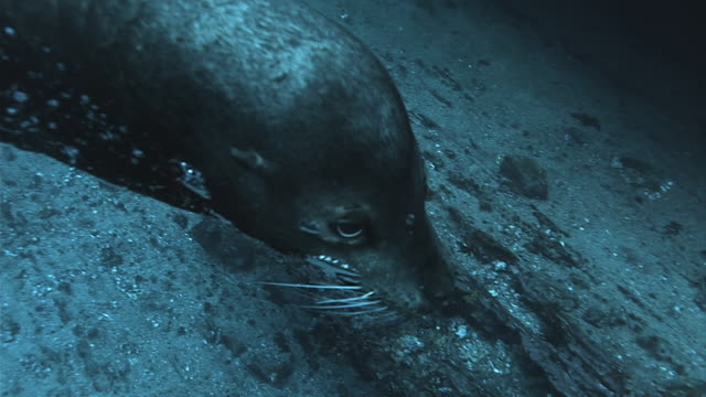 vidéos et rushes de a galapagos sea lion swims along the ocean floor. available in hd. - océan pacifique sud