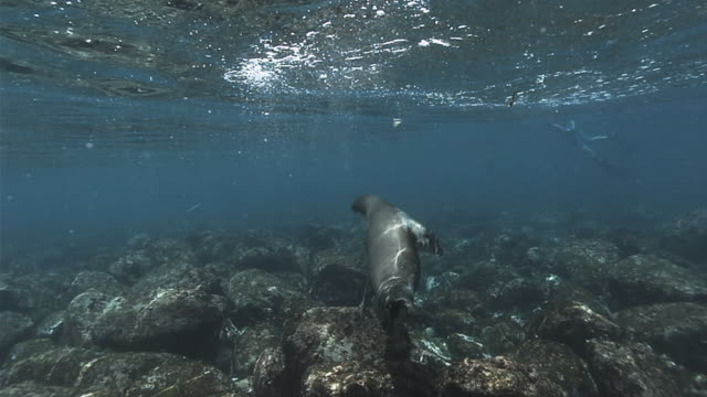 vidéos et rushes de a galapagos sea lion twists and turns near a scuba diver. available in hd. - lion de mer
