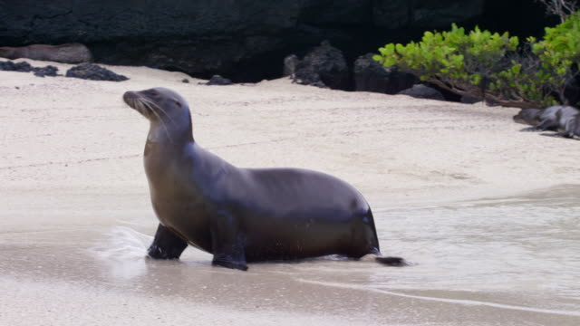 galapagos sea lion - robbe stock-videos und b-roll-filmmaterial