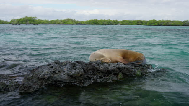 galapagos sea lion - seal animal stock videos & royalty-free footage