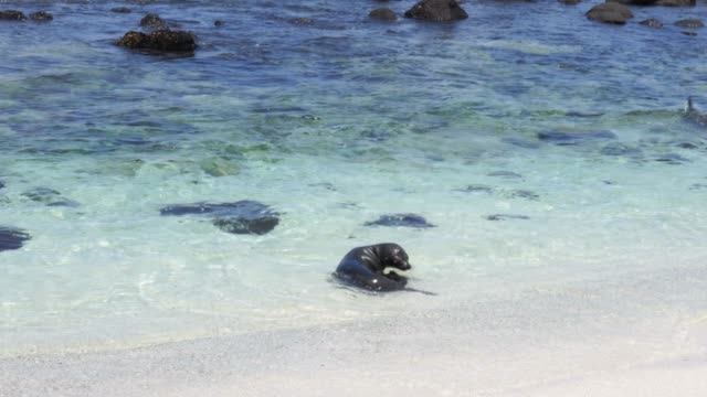 galapagos sea lions in north seymour island - seal pup stock videos & royalty-free footage