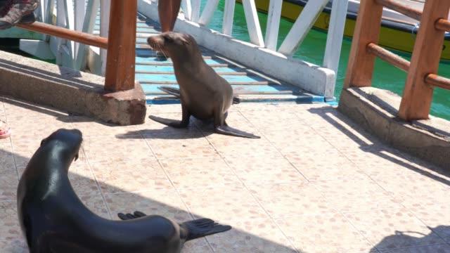stockvideo's en b-roll-footage met galapagos zeeleeuwen op de pier - ecuador
