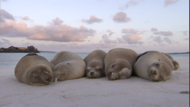 galapagos sea lions rest in a row. available in hd. - seal animal stock videos and b-roll footage