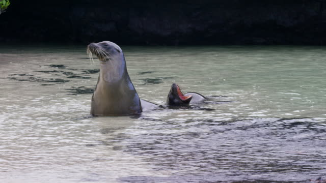 stockvideo's en b-roll-footage met galapagos sea lions - zeeleeuw
