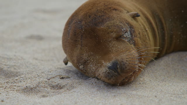 vidéos et rushes de galapagos seal waking up from a nap close up - otarie à fourrure