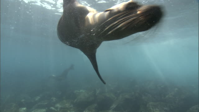 galapagos sealions (zalophus wollebaecki) swim in shallows, galapagos islands - sea lion stock videos & royalty-free footage