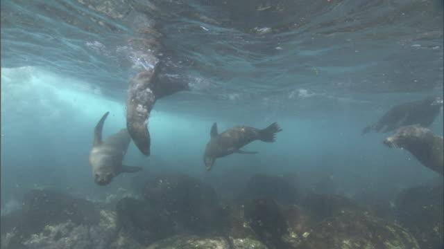 galapagos sealions (zalophus wollebaecki) swim in shallows, galapagos islands - foca video stock e b–roll