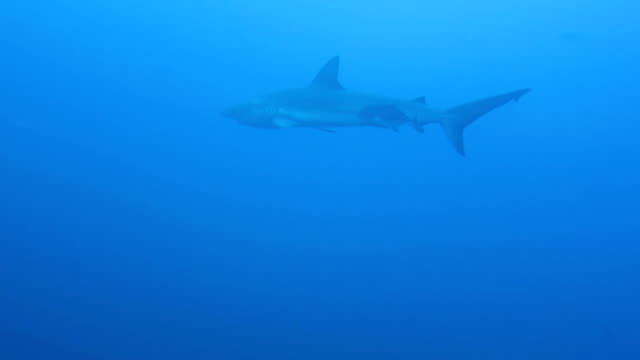 galapagos shark and a jackfish swimming in blue water, cocos island, costa rica. - galapagos shark stock videos & royalty-free footage