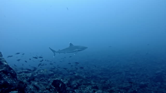 galapagos shark (carcharhinus galapagensis) and silvertip shark (carcharhinus albimarginatus) - galapagos shark stock videos & royalty-free footage