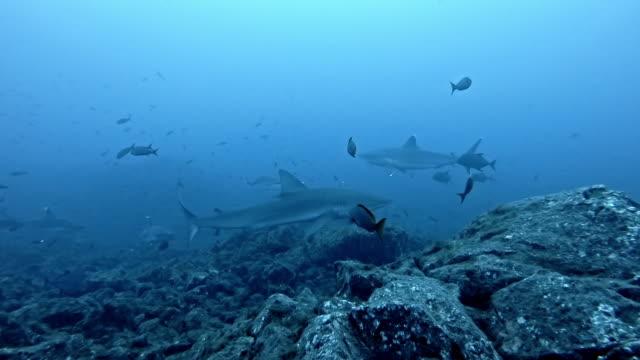 galapagos shark (carcharhinus galapagensis) and silvertip shark (carcharhinus albimarginatus) - pelagic zone stock videos & royalty-free footage