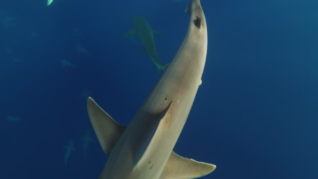 a galapagos shark brushes up against camera - turtle bay hawaii stock videos and b-roll footage