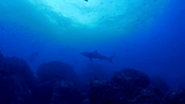 Galapagos Hai am Tiefsee Reef, Galapagos Kreuzfahrten
