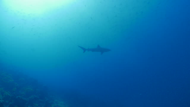 galapagos shark cruising below sea surface at darwin island - galapagos shark stock videos & royalty-free footage