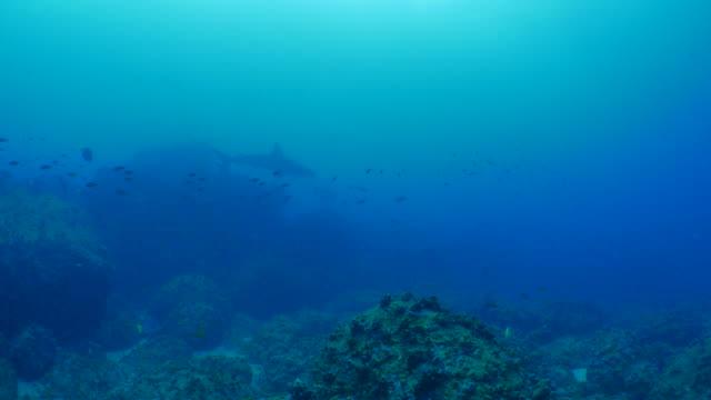 galapagos shark cruising in deep coral reef, wolf island - galapagos shark stock videos & royalty-free footage