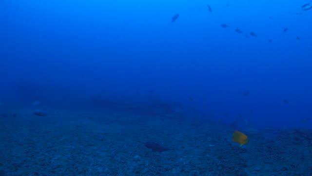 galapagos shark cruising in reef - galapagos shark stock videos & royalty-free footage