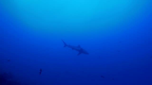 galapagos shark encounter at undersea reef - galapagos shark stock videos & royalty-free footage