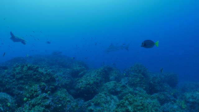 galapagos shark, green sea turtle, undersea reef - galapagos shark stock videos & royalty-free footage