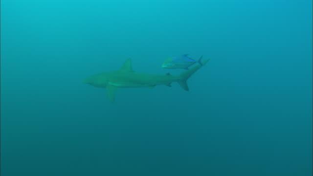 galapagos shark in sea, mexico  - galapagos shark stock videos & royalty-free footage