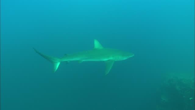 galapagos shark sea, mexico  - galapagos shark stock videos & royalty-free footage
