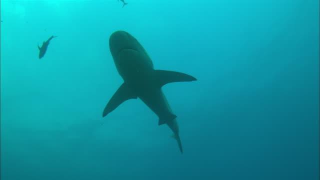 galapagos shark, silhouette, mexico  - galapagos shark stock videos & royalty-free footage