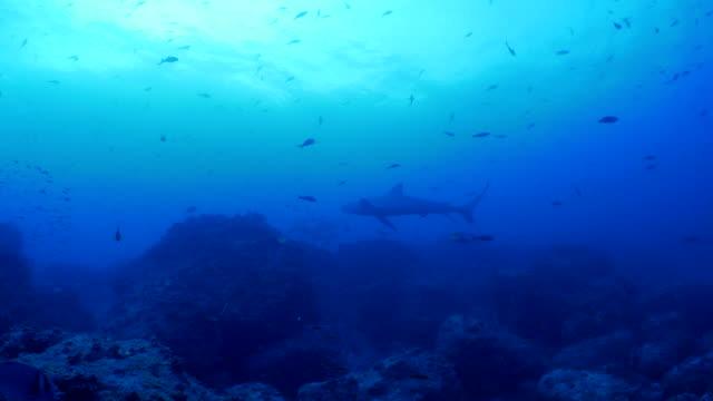 galapagos shark swimming at undersea deep coral reef - galapagos shark stock videos & royalty-free footage
