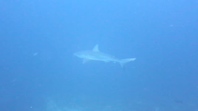 galapagos shark swimming in blue water, cocos island, costa rica. - galapagos shark stock videos & royalty-free footage