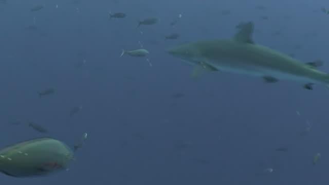 galapagos shark swimming up current into a school of creole fish, darwin island, galapagos islands, ecuador. - galapagos shark stock videos & royalty-free footage