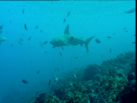 Galapagos shark swims over reef amongst various reef fishes
