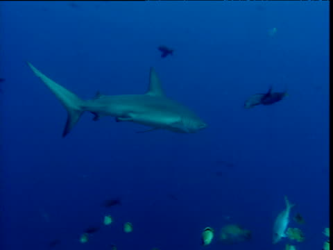 galapagos shark swims past diverse coral reef fishes, galapagos - reef shark stock videos and b-roll footage