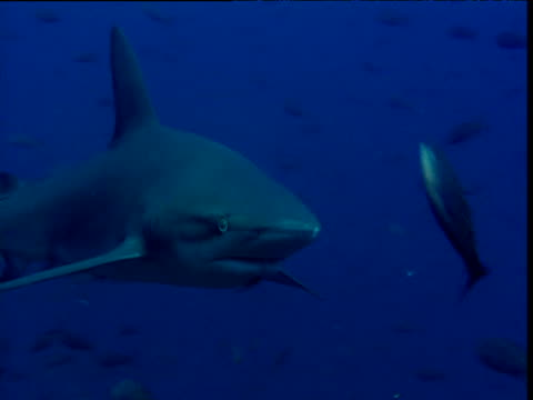 Galapagos shark swims through shoal of pacific creole fish past camera, Galapagos