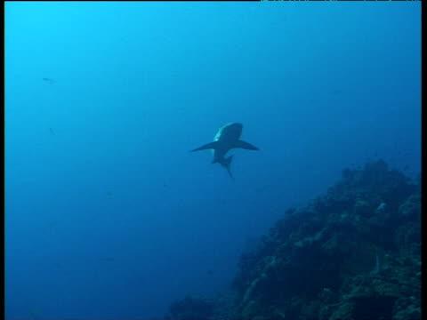 galapagos shark swims towards camera - galapagos shark stock videos & royalty-free footage