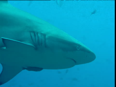 galapagos shark with attached remora swims past camera, galapagos - symbiotic relationship stock videos & royalty-free footage
