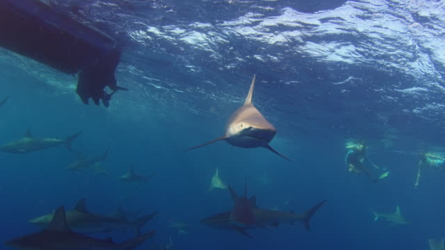 a galapagos sharks swims directly towards camera - turtle bay hawaii stock videos and b-roll footage