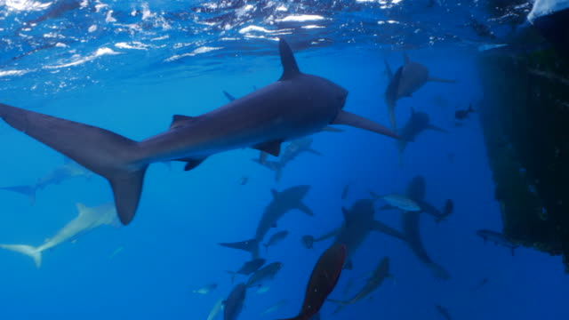 galapagos sharks tracing big ship under sea surface - sotto video stock e b–roll