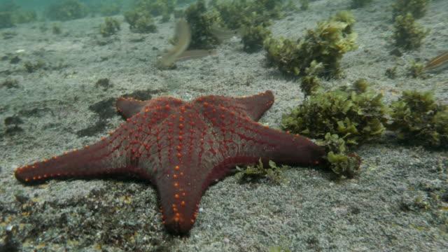 Galapagos Starfish