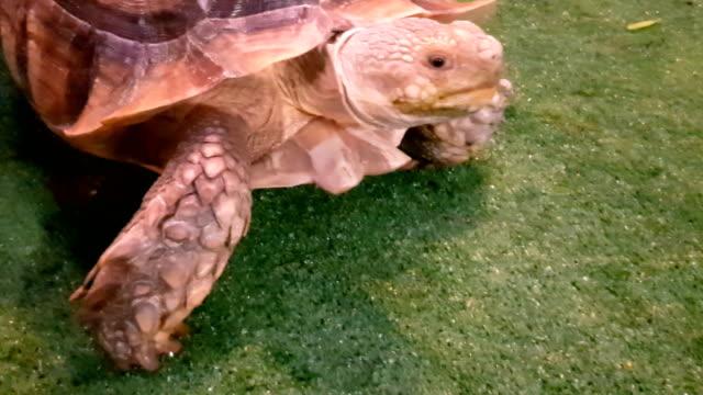 vídeos de stock e filmes b-roll de galapagos tortoise. big turtle - gigante personagem fictícia