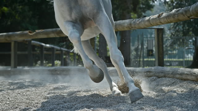 slo mo ds gallop of a white horse in the longe - gallop animal gait stock videos & royalty-free footage