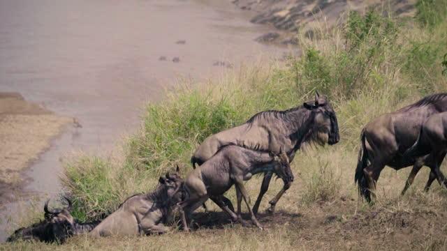 vídeos de stock, filmes e b-roll de galope gnus - close-up - animal de fazenda