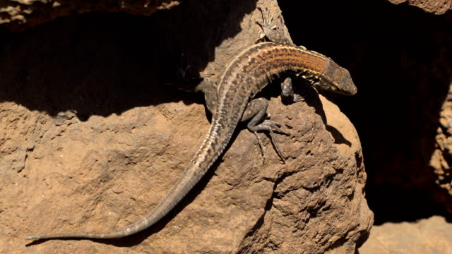 gallotia galloti - tenerife - lizard stock videos and b-roll footage