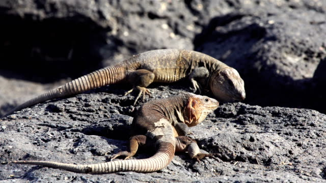 vídeos y material grabado en eventos de stock de gallotia stehlini - lagartija endémica de la isla de gran canaria - luchar