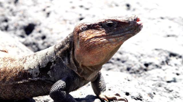 Gallotia Stehlini - eiland Gran Canaria het eiland endemisch hagedis