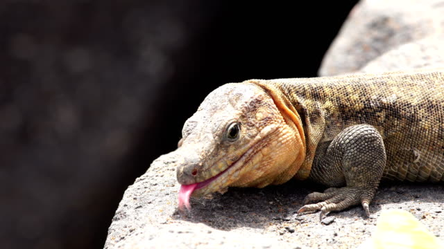 gallotia stehlini - grand canary's island endemic lizard - endemic stock videos and b-roll footage