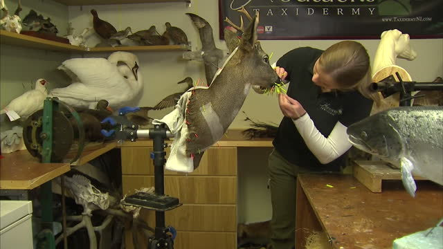 'game of thrones' has given a boost to local businesses in northern ireland one such business is that of houwers taxidermy which supplies props to... - stuffed stock videos & royalty-free footage